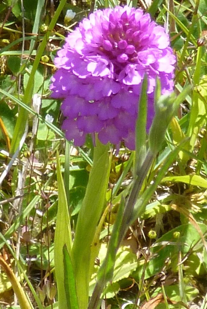 .....orchids......