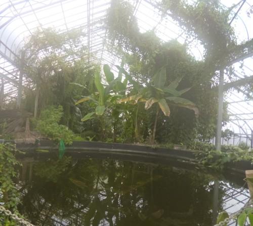 ......banana trees....