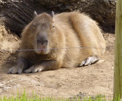 .....a capybara......