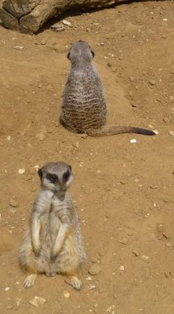 .......meerkats....