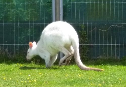 ......albino one......