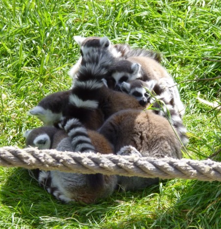 ......lemurs all in a family bundle.......