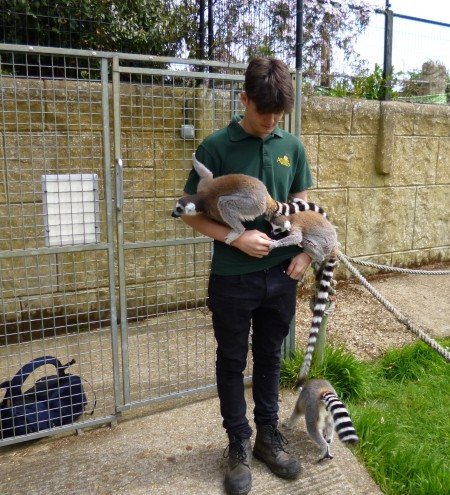 .....the lemurs immediately went to the keeper.....