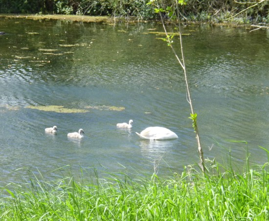 There was a pair of swans and 3 cygnets on Wilton Water