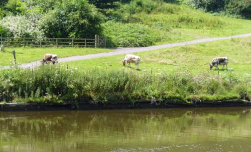 Cows seen from Shrewsbury town river path