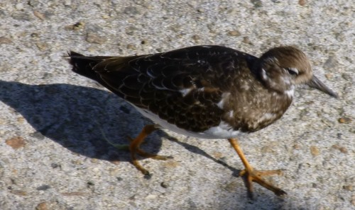 Bird - probably a redshank