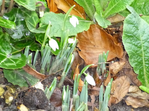 Snowdrops are out