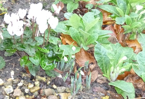 Cyclamen, snowdrops and primroses
