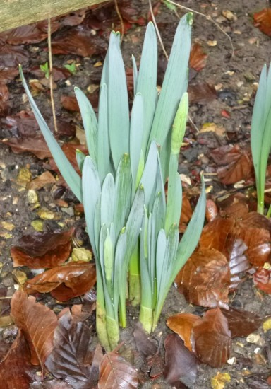Buds forming on daffodils